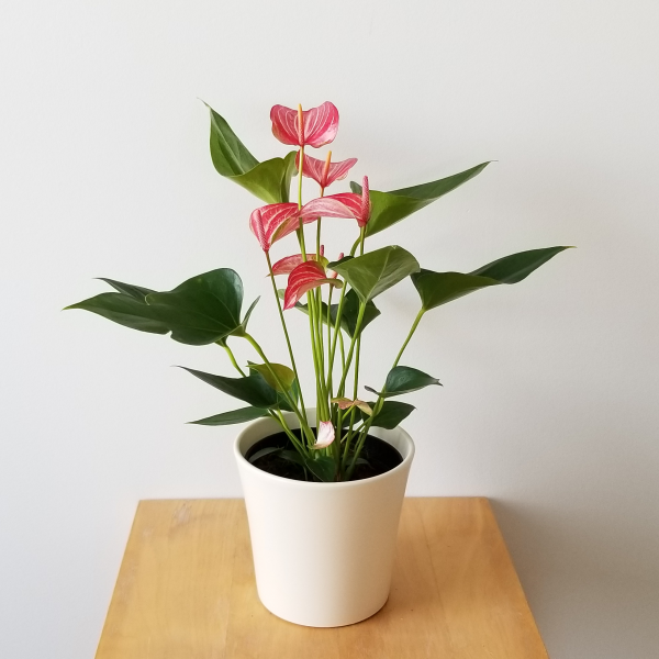 Anthurium flowers Flamingo Flower flowering indoor plants houseplants interior plants plant sale Toronto Etobicoke Mississauga Brampton Burlington Oakville Hamilton North York GTA Happy Valentine's Day Love Holidays Plant Gifts red and white flowers