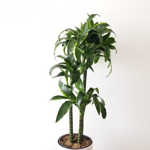 Indoor plants houseplant sale Interiorplants plant gifts Mississauga Toronto Etobicoke Brampton Burlington Hamilton Oakville Ontario Richmond Hill North York GTA Dracaena Dorado air-purifying plants