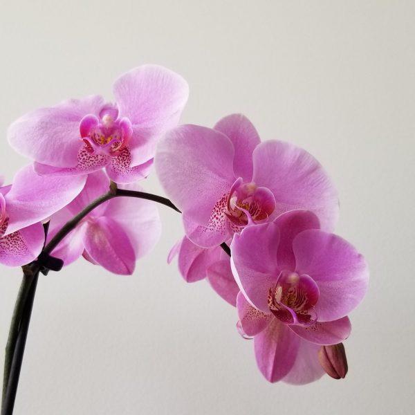 Indoor plants houseplant sale Interiorplants plant gifts Mississauga Toronto Etobicoke Brampton Burlington Hamilton Oakville Ontario Richmond Hill North York GTA Flowering plants Orchids