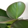Indoor plants houseplants airpurifyng plants indoors plant sale Interiorplants plant gifts GTA Mississauga Toronto Etobicoke Brampton Burlington Hamilton Cambridge Oakville Ontario Richmond Hill North York GTA Peperomia obtusifolia green with red edge