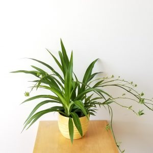 Indoor plants houseplants Interior plants air-purifying plants indoor plant sale Mississauga Toronto Etobicoke Oakville Brampton Burlington GTA Spider plant green leaves