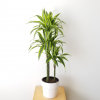 Indoor plants houseplants airpurifyng plants indoors plant sale Interiorplants plant gifts GTA Mississauga Toronto Etobicoke Brampton Burlington Hamilton Cambridge Oakville Ontario Richmond Hill North York GTA Dracaena Lemon Lime Cane air purifying indoor tree