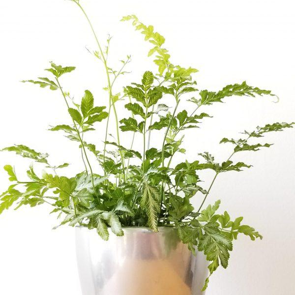 Indoor plants houseplants airpurifyng plants indoors plant sale Interiorplants plant gifts GTA Mississauga Toronto Etobicoke Brampton Burlington Hamilton Cambridge Oakville Ontario Grimsby GTA Fern Silver Lace