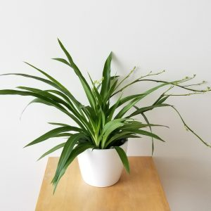 Indoor plants houseplants Interior plants air-purifying plants indoor plant sale Mississauga Toronto Etobicoke Oakville Brampton Burlington GTA Spider plant green