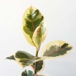 Indoor plants houseplants interiorplants plant sale Mississauga Toronto Etobicoke Brampton Oakville Burlington GTA Ficus elastica Tineke Rubber plant