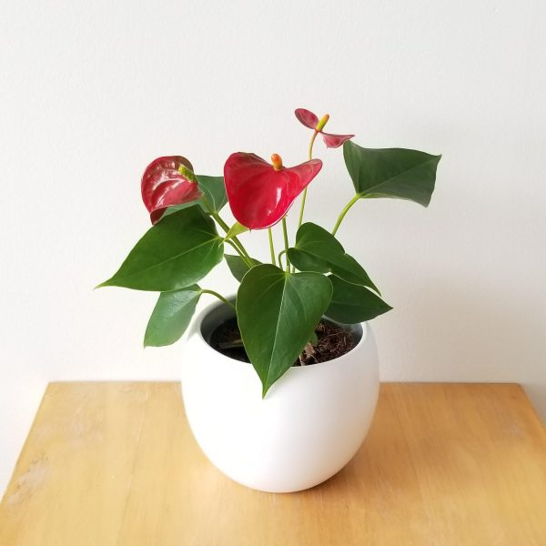 anthurium red flowers indoor plants flowering houseplants in decorative ceramic GTA plant shop Mississauga Toronto Etobicoke Oakville Brampton Burlington