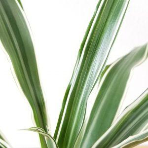 Indoor plants houseplant sale Interiorplants plant gifts Mississauga Toronto Etobicoke Brampton Burlington Hamilton Oakville Ontario Richmond Hill North York GTA Dreacaena deremensis warneckii air-purifying plants