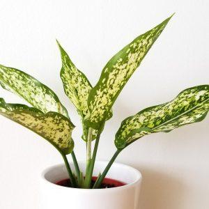 Indoor plants houseplants green plants for indoors interiorplants Plant shop GTA Mississauga Toronto Etobicoke Brampton Burlington Oakville Hamilton Aglaonema Chinese Evergreen Osaka