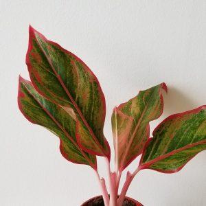 Indoor plants houseplants sale GTA Mississauga Toronto Etobicoke Brampton Oakville Burlington Hamilton Aglaonema Chinese Evergreen colorful varieties