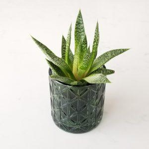 decorative glass containers for indoor plants houseplants interior plants plant shop Mississauga Toronto Etobicoke Brampton Oakville Burlington GTA