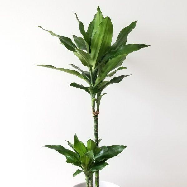 Indoor plants houseplant sale Interiorplants plant gifts Mississauga Toronto Etobicoke Brampton Burlington Hamilton Oakville Ontario Richmond Hill North York GTA Dracaena Green Jewel air-purifying plants