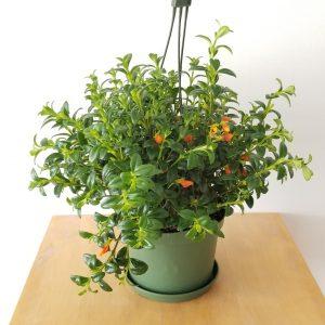 plant gifts air-purifying indoor plants sale Mississauga Toronto Brampton Oakville Etobicoke Burlington GTA Goldfish Plant