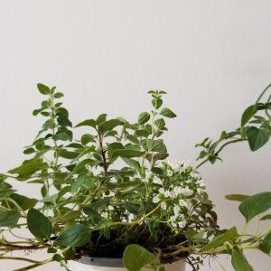 Indoor plants houseplants interior plants GTA Mississauga Etobicoke Brampton Oakville Burlington Organic herbs Oregano
