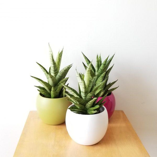 plant gifts air-purifying indoor plants Sansevieria Tough Lady in decorative ceramic container for sale Mississauga Toronto Brampton Oakville Etobicoke Burlington GTA