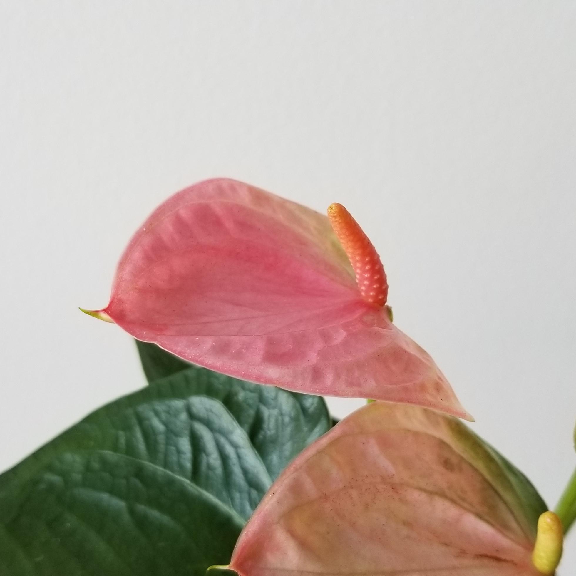 Indoor plants houseplant sale Interiorplants plant gifts Mississauga Toronto Etobicoke Brampton Burlington Hamilton Oakville Ontario Richmond Hill North York GTA Flower filled gifts Anthurium Red in Black Ceramic container Plant Gift air-purifying plants