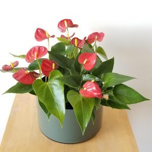 Indoor plants houseplant sale Interiorplants plant gifts Mississauga Toronto Etobicoke Brampton Burlington Hamilton Oakville Ontario Richmond Hill North York GTA Flower filled gifts Anthurium Red in Green Glass container Plant Gift air-purifying plants