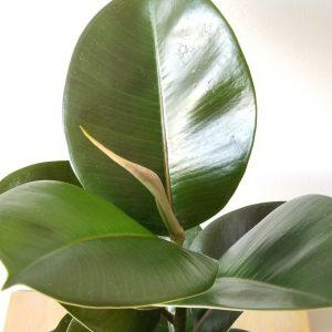 Indoor plants houseplants interiorplants plant sale Mississauga Toronto Etobicoke Brampton Oakville Burlington GTA Ficus elastica Sophia Rubber plant