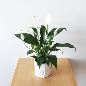 Indoor plants houseplant sale Interiorplants plant gifts Mississauga Toronto Etobicoke Brampton Burlington Hamilton Oakville Ontario Richmond Hill North York GTA Plant Gift air-purifying plants Peace Lily