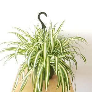 Indoor plants houseplants Interior plants air-purifying plants indoor plant sale Mississauga Toronto Etobicoke Oakville Brampton Burlington GTA Spider plant variegated
