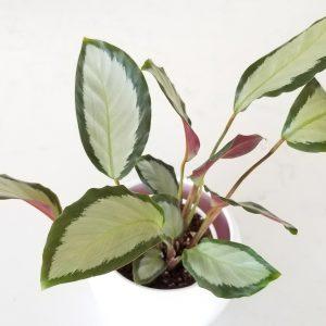 Indoor plants houseplants green plants for indoors interiorplants Plant shop GTA Mississauga Toronto Etobicoke Brampton Grimsby Burlington Oakville Hamilton Calathea picturata 'Argentea'