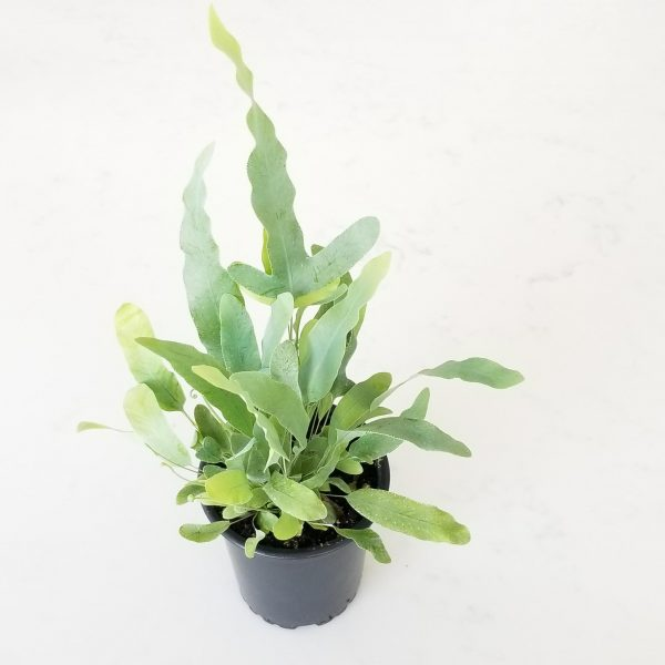 Indoor plants houseplants airpurifyng plants indoors plant sale Interiorplants plant gifts GTA Mississauga Toronto Etobicoke Brampton Burlington Hamilton Cambridge Oakville Ontario Grimsby GTA Fern Blue Star