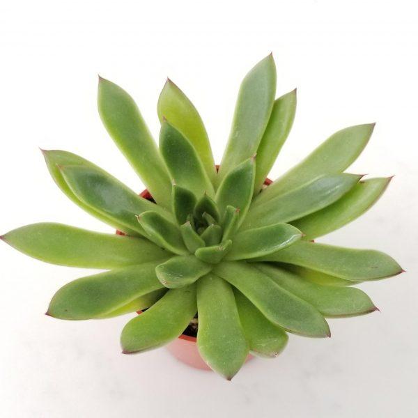 Indoor plants houseplants Interior plants air-purifying plants indoor plant sale Mississauga Toronto Etobicoke Oakville Brampton Burlington GTA Succulents Echeveria