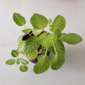 Indoor plants houseplants Interior plants air-purifying plants indoor plant sale Mississauga Toronto Etobicoke Oakville Brampton Burlington GTA Episcia cupreata