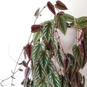 Indoor plants houseplants green plants for indoors interiorplants Plant shop GTA Mississauga Toronto Etobicoke Brampton Burlington Oakville Hamilton Grimsby Rex Begonia Tapestry Vine Cissus Discolor