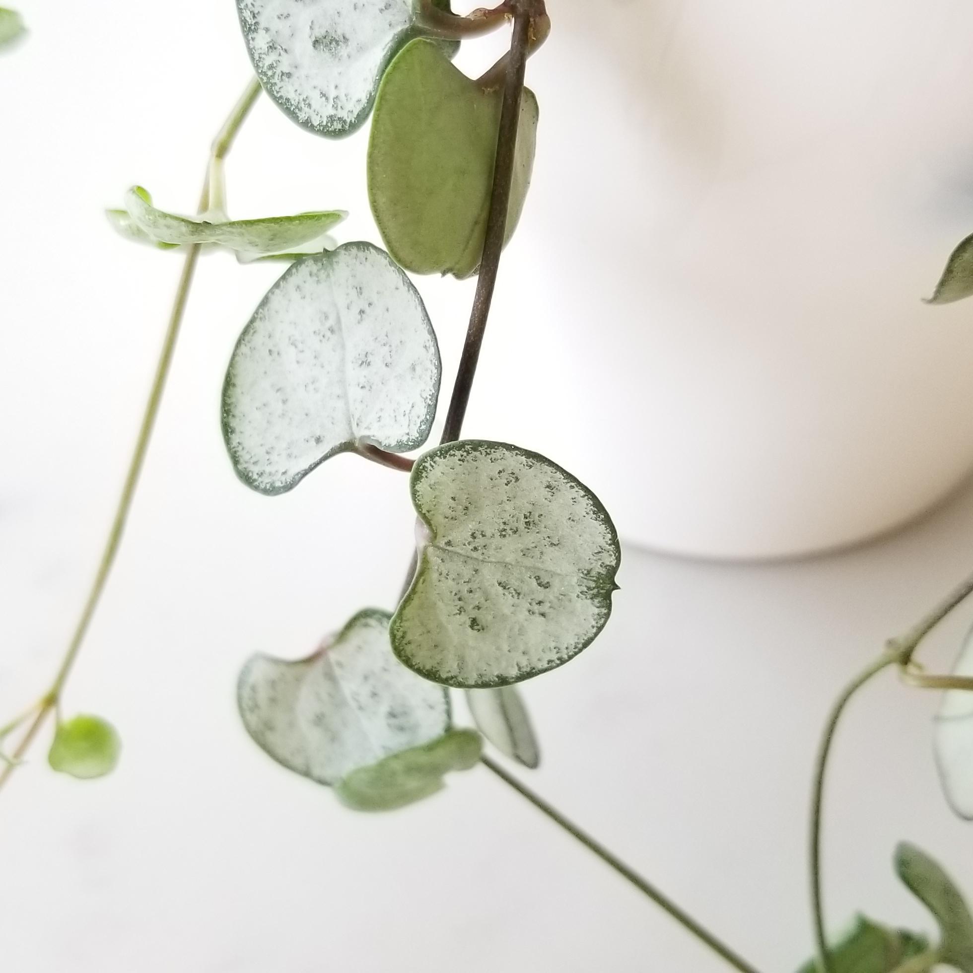 Indoor plants houseplants green plants for indoors interiorplants Plant shop GTA Mississauga Toronto Etobicoke Brampton Burlington Oakville Hamilton Ceropegia woodii String of Hearts Silver Glory